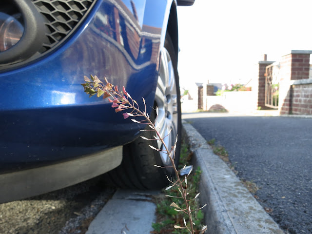 Shepherd's Purse (Capsella bursa-pastoris) plant with seeds growing in kerb next to blue car.