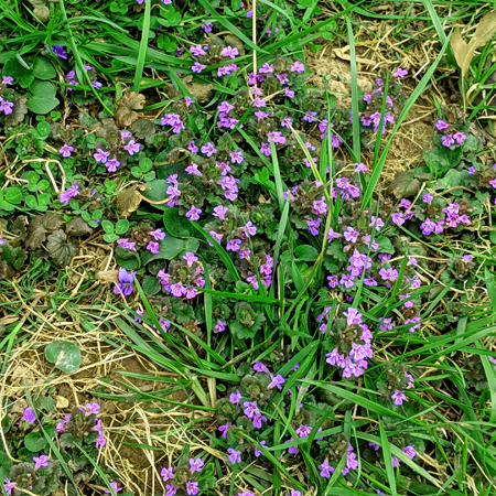 image of a bunch of tiny purple flowers among the grass