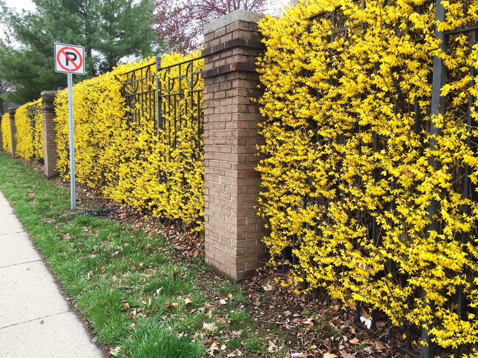 Forsythia x intermedia yellow flower hedge