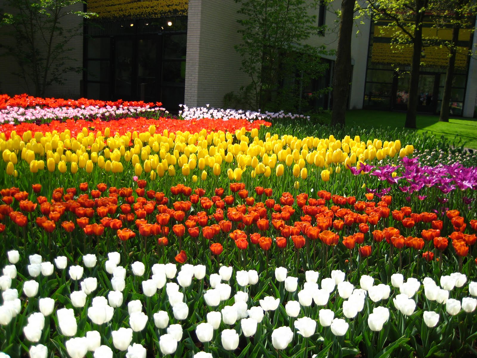 tulips garden wallpaper - photo #32