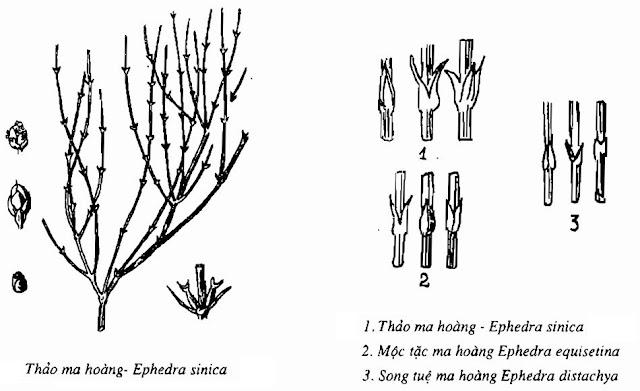 Hình vẽ Ma Hoàng - Ephedra sinica; Ephedra equisetina; Ephedra intermedia - Nguyên liệu làm thuốc Chữa Cảm Sốt
