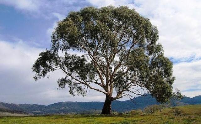 arbore de eucalipt