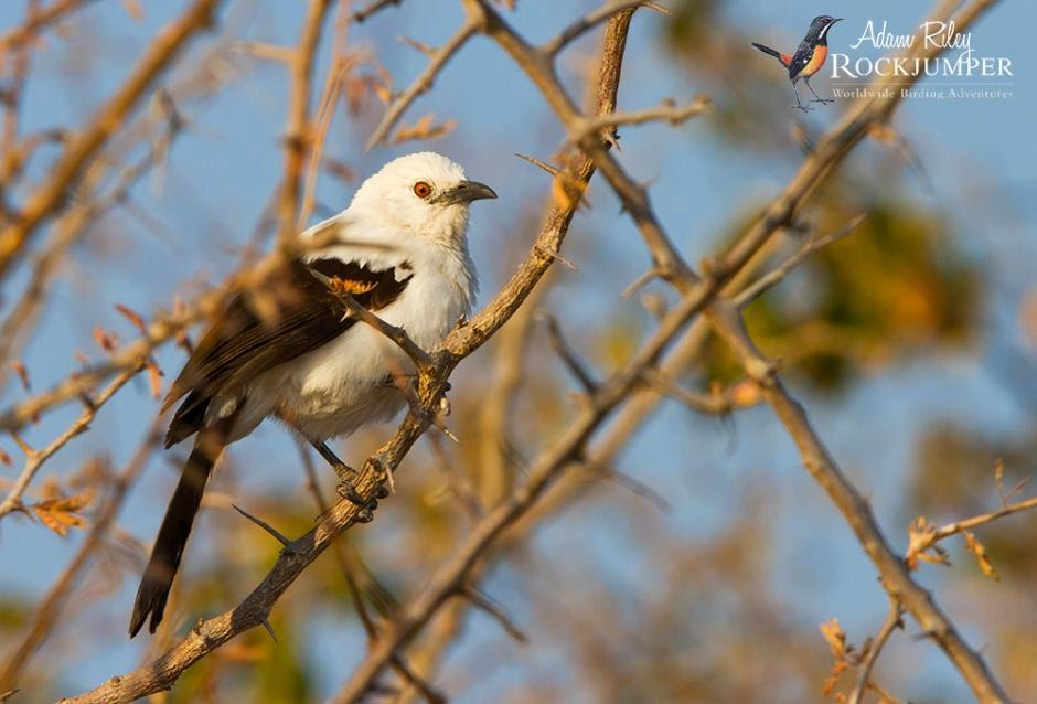 Southern Pied-babbler