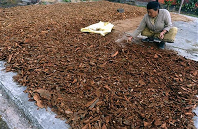 Cinchona bark drying