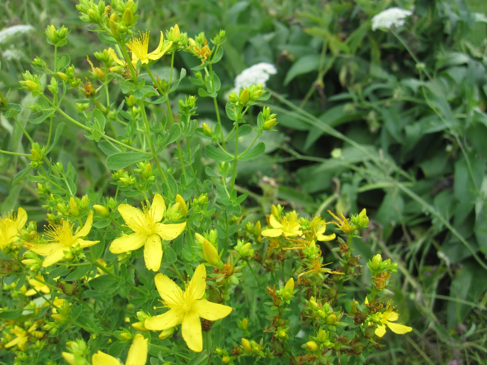 St. John's Wort Uses: Relieve Depression, PMS & Menopause Symptoms