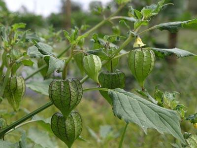 Loại cây dại xưa trị khỏi bệnh tiểu đường