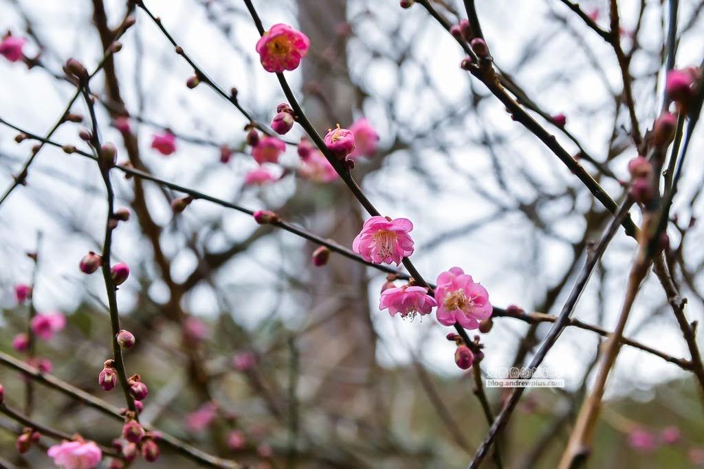 武陵農場一日遊,武陵農場賞花賞梅賞櫻,賞櫻花景點