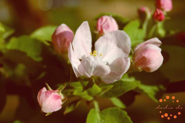 Apple Tree blooming season