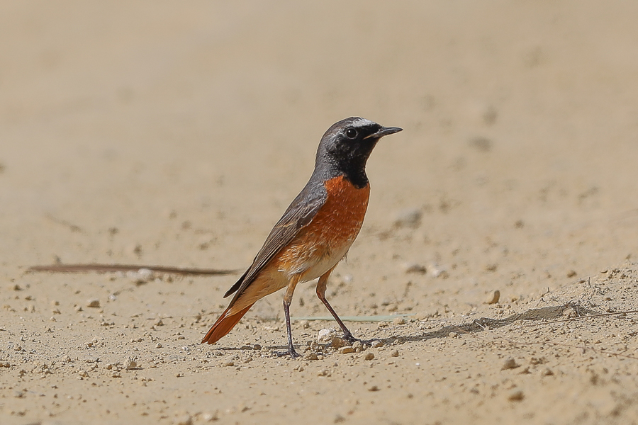 Common Redstart – Jubail