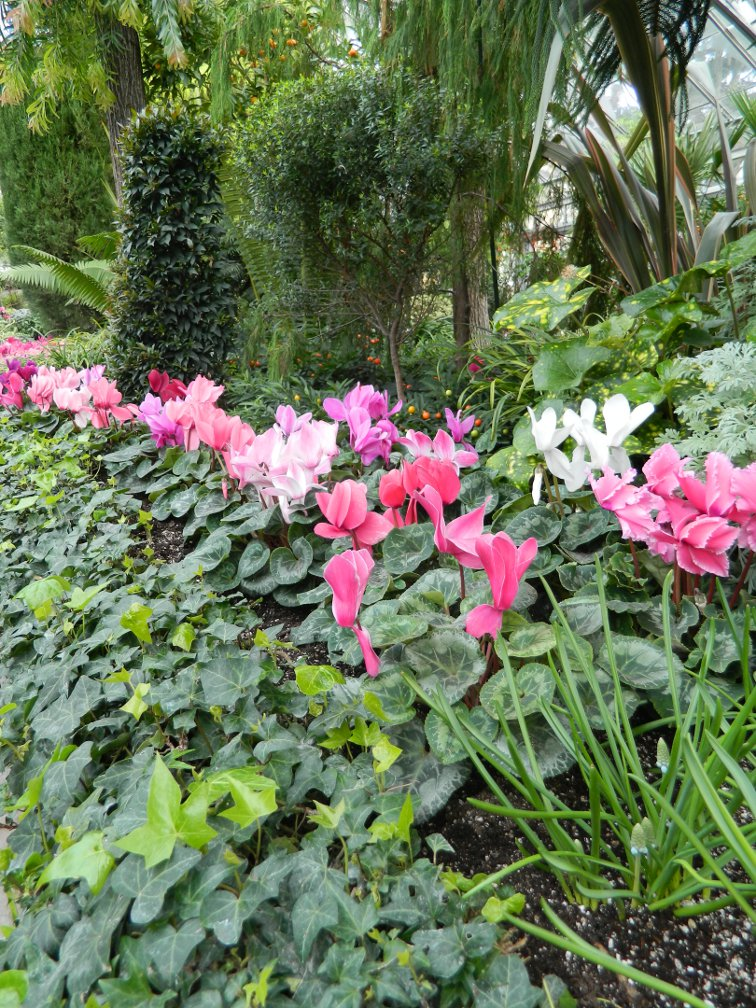 Drift of pink cyclamen and English ivy at the Toronto Allan Gardens Conservatory Spring Flower Show 2013 by garden muses: a Toronto gardening blog