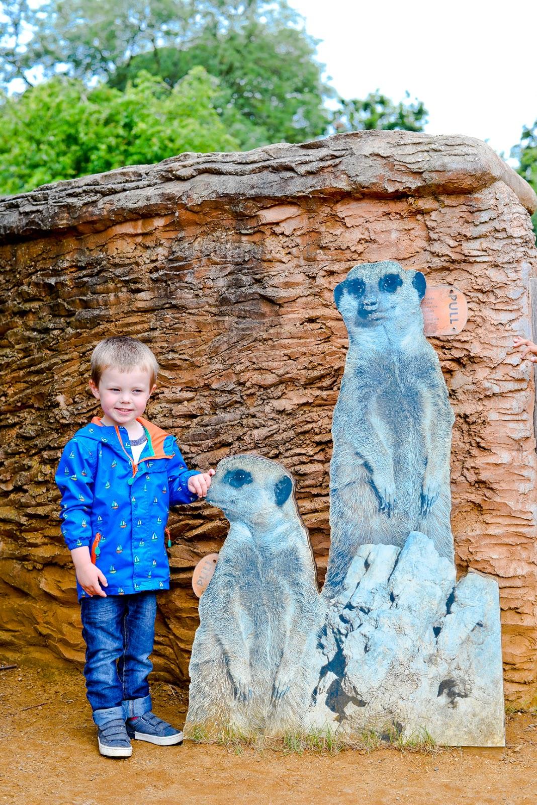 meerkat whipsnade zoo