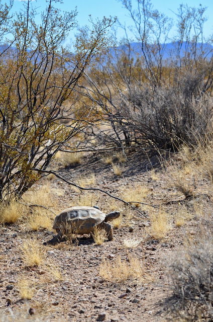 Decoded genome may help Mojave Desert tortoise win race to survive