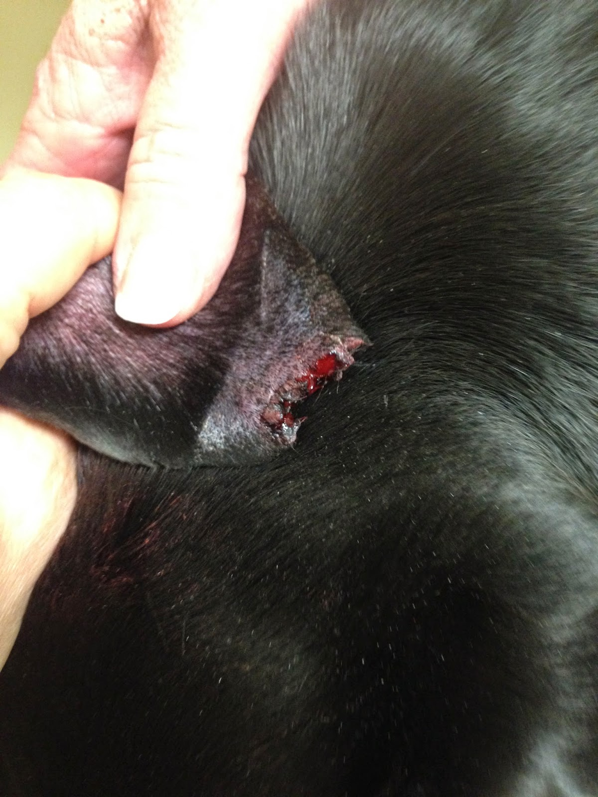 How To Treat Sores On Dogs Ears