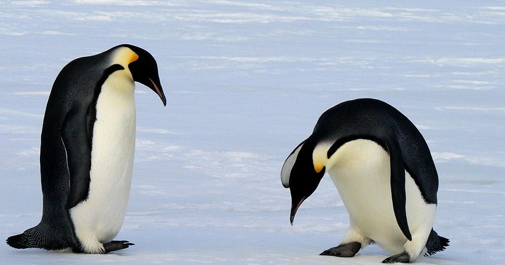 Penguin%252btwo