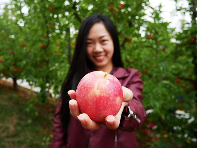 Apple picking in Adelaide, South Australia
