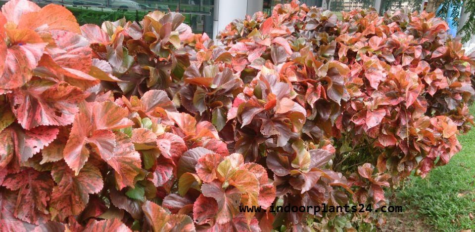 Indoor Plantacalypha Wilkesiana Euphorbiaceae Copper Leaf Plants