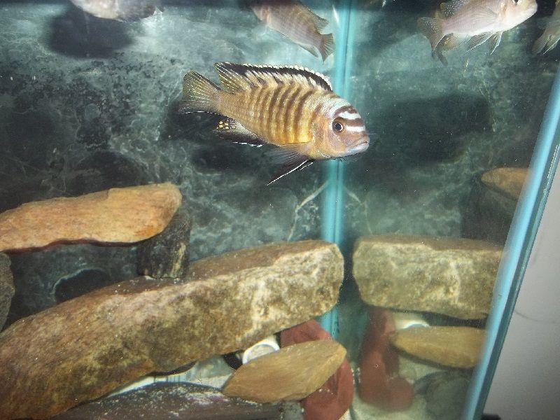 Gambar jenis jenis ikan cichlid ( Malawi Cichlids ) - Pola Warna Nkolongwe