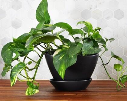 نبات البوتوس – Pothos (قلب عبد الوهاب)