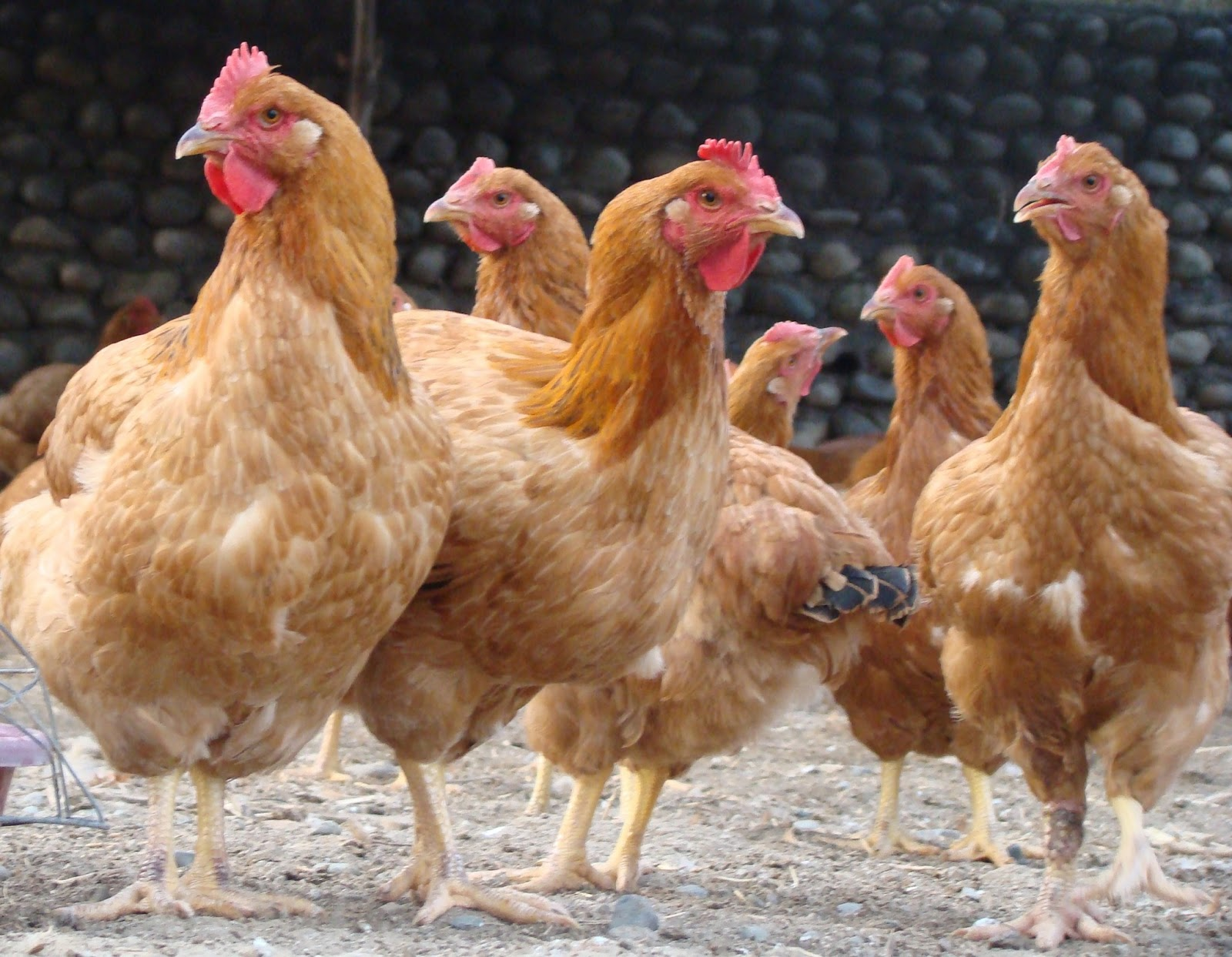 cost analysis of a poultry farm Ontario farm management analysis project programs  guide to cost of production budgeting  this is known as enterprise budgeting or cost of production budgeting.