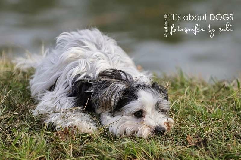 Biewer Yorkshire Terrier Lotta gemeinsam mit Freunden am Kanal