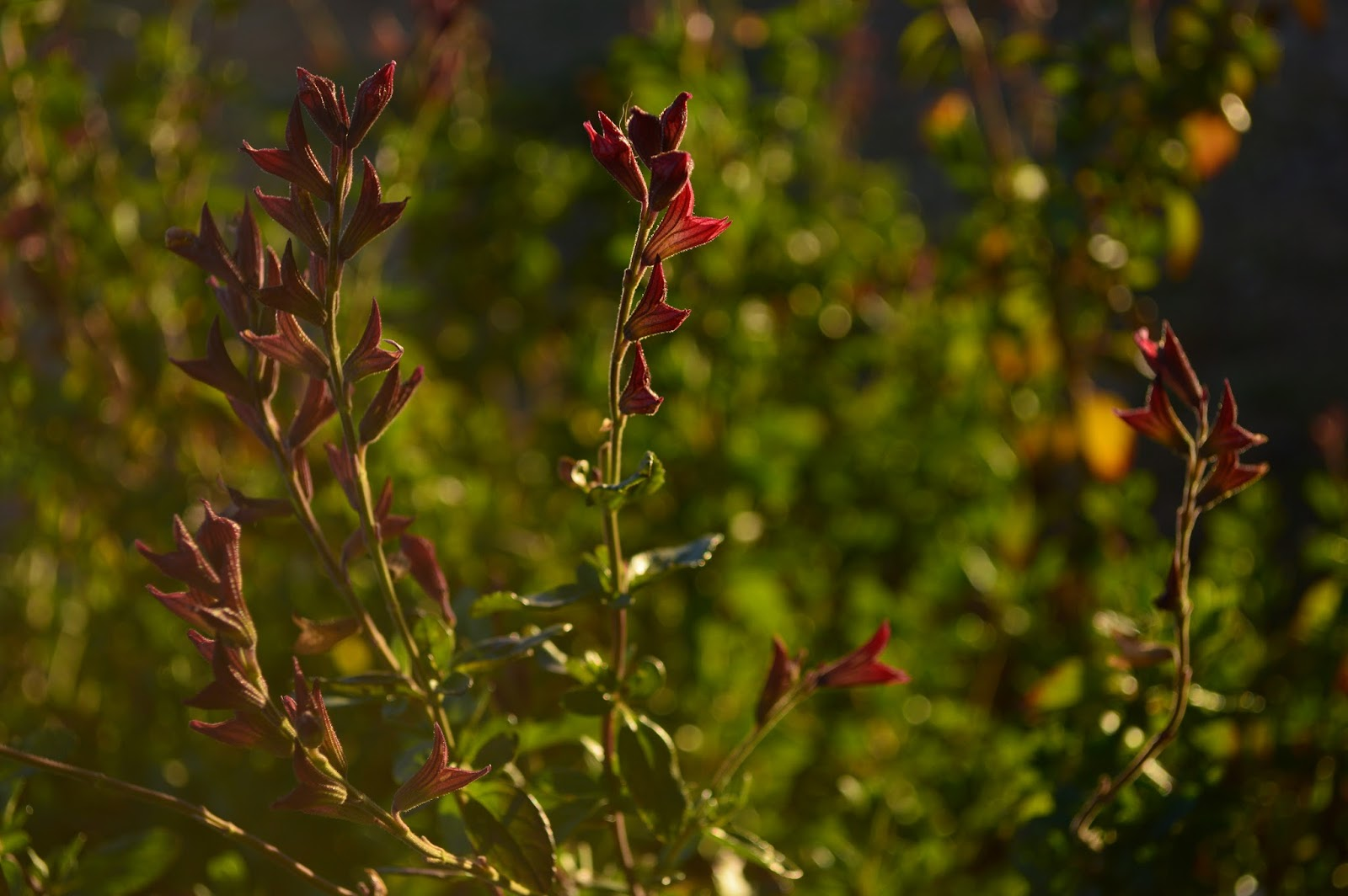 salvia greggii, autumn sage, fragrant foliage