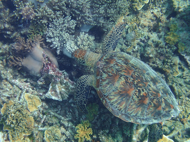 Green Turtle - Australia