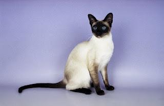 Gambar Kucing Ras Siamese