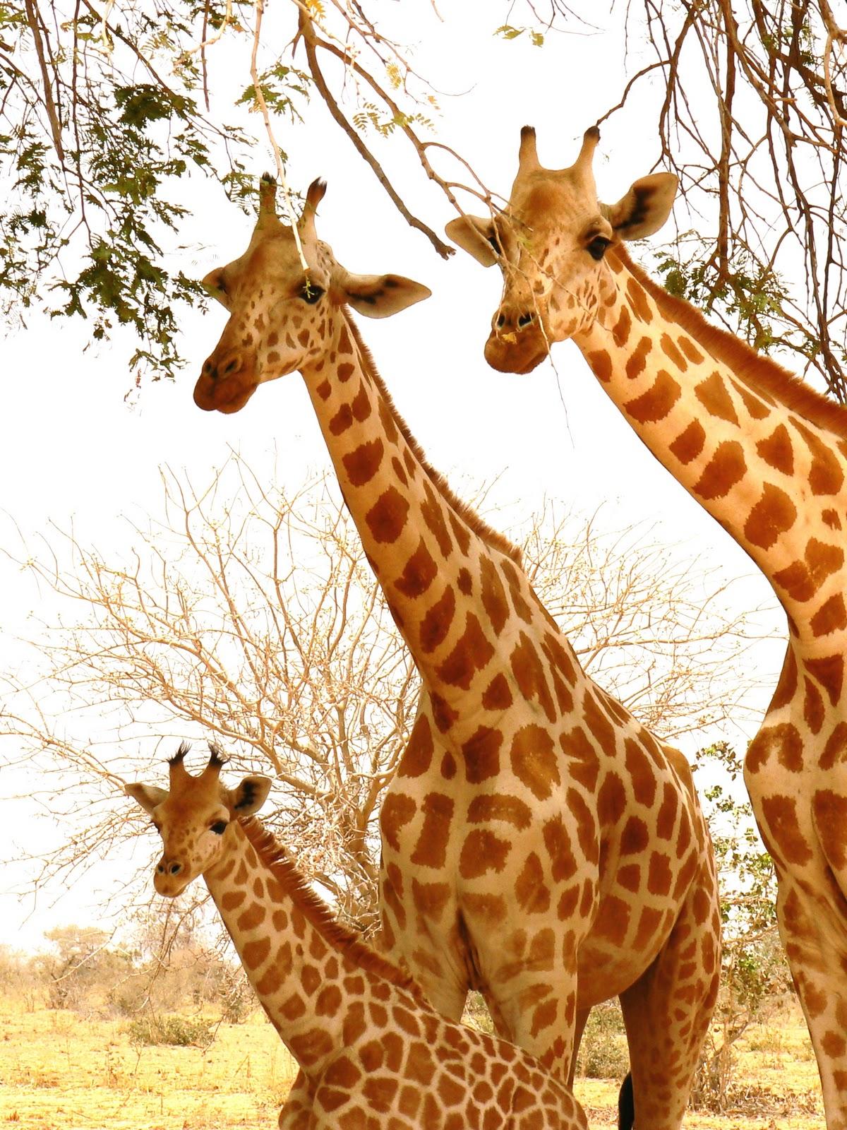 Gentle Giraffe Nursery Décor Sleep Soothers Cloud b On The