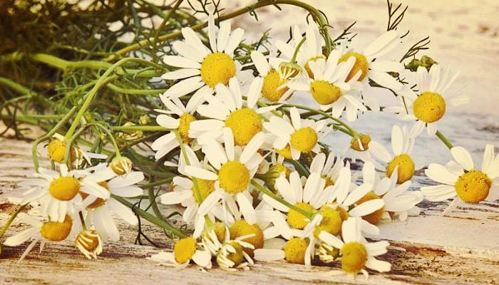 Chamaemelum nobile o manzanilla romana