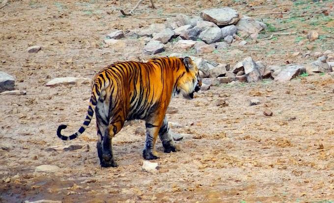 Wildlife drives  ( Bandipur, Mukurthi, Tadoba, Nagarhole )