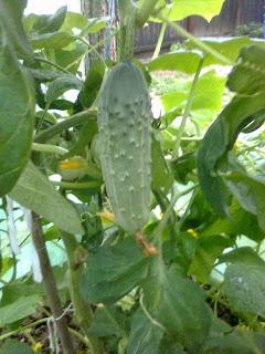 castraveti cornichon cultivati in solar