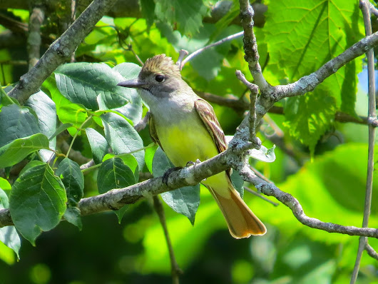 GREAT CRESTED FLYCATCHER: 06/10/2017