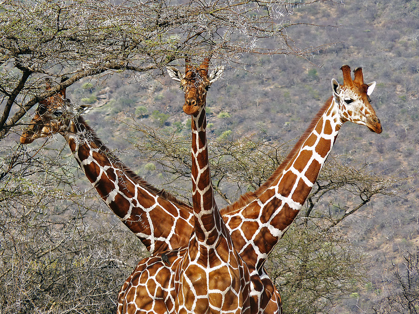 Three Headed Giraffe