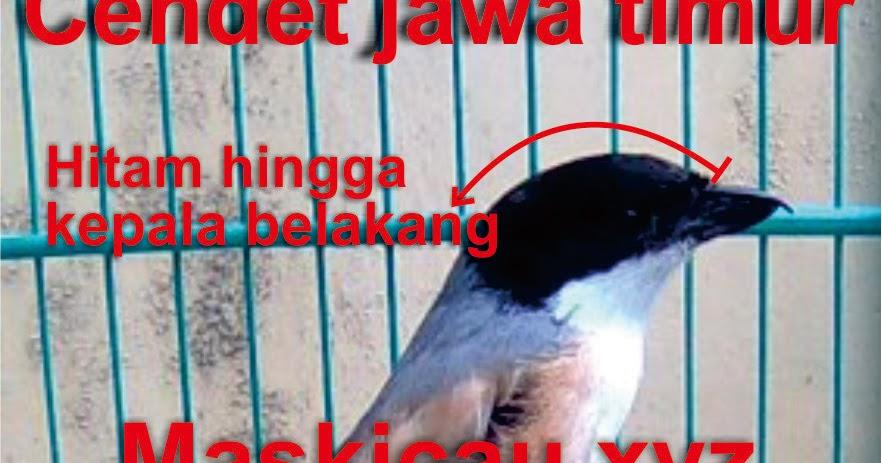 Ciri Ciri Yang Membedakan Cendet Madura Jawa Timur Dan Jawa Barat Maskicau Net