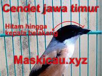 Ciri-ciri yang Membedakan Cendet Madura, Jawa Timur dan Jawa Barat
