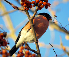 Local Bullfinch