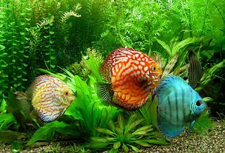 Merawat ikan discus yang mudah stress