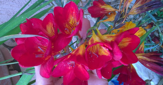 HOME AND GARDEN: How to plant and grow freesia