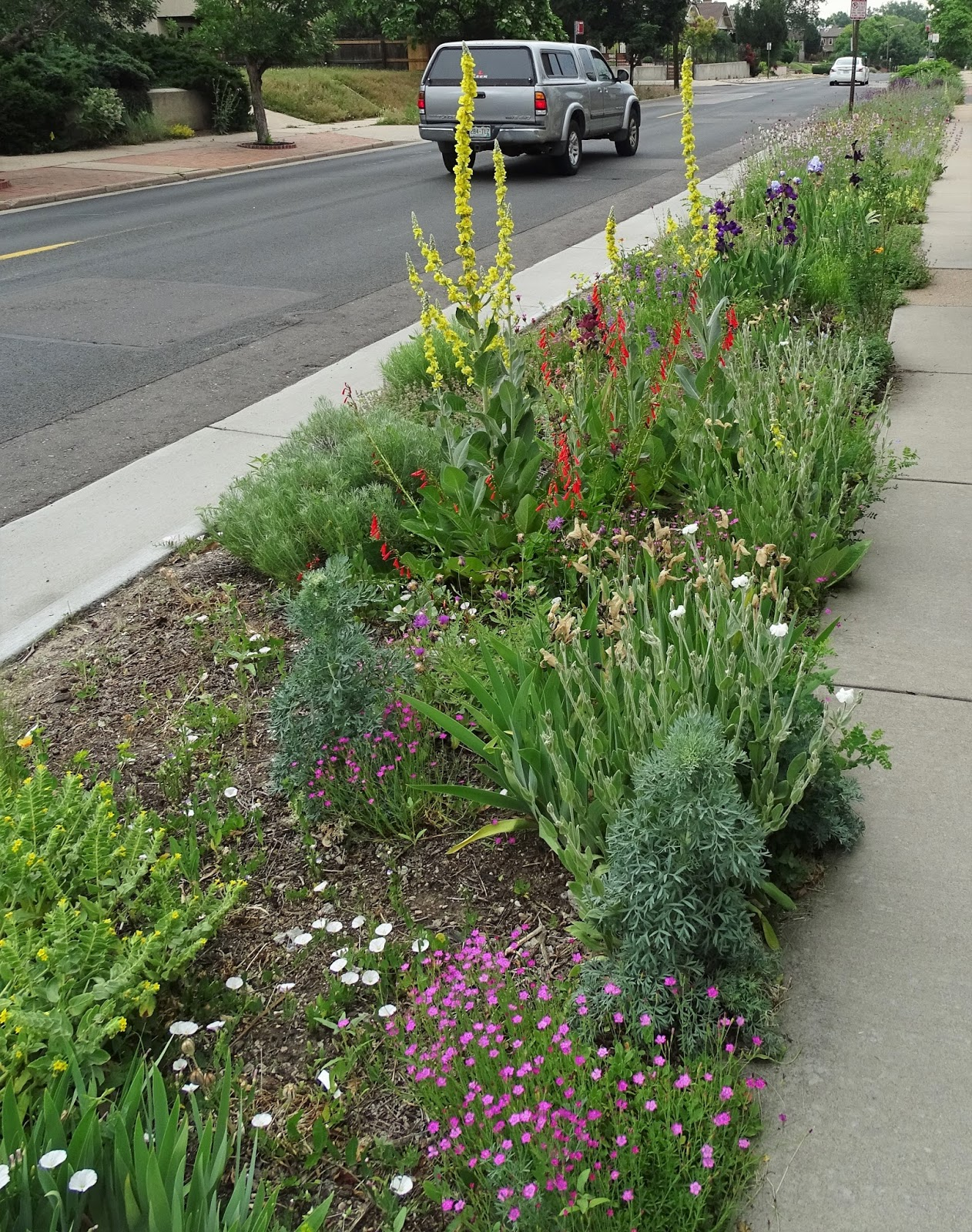 Mulleins Look Great With Penstemon Eatonii  And I Have To Admit That The  Dianthus Deltoides Is In Part Shade  It Doesnu0027t Take The Drought In Full  Sun.