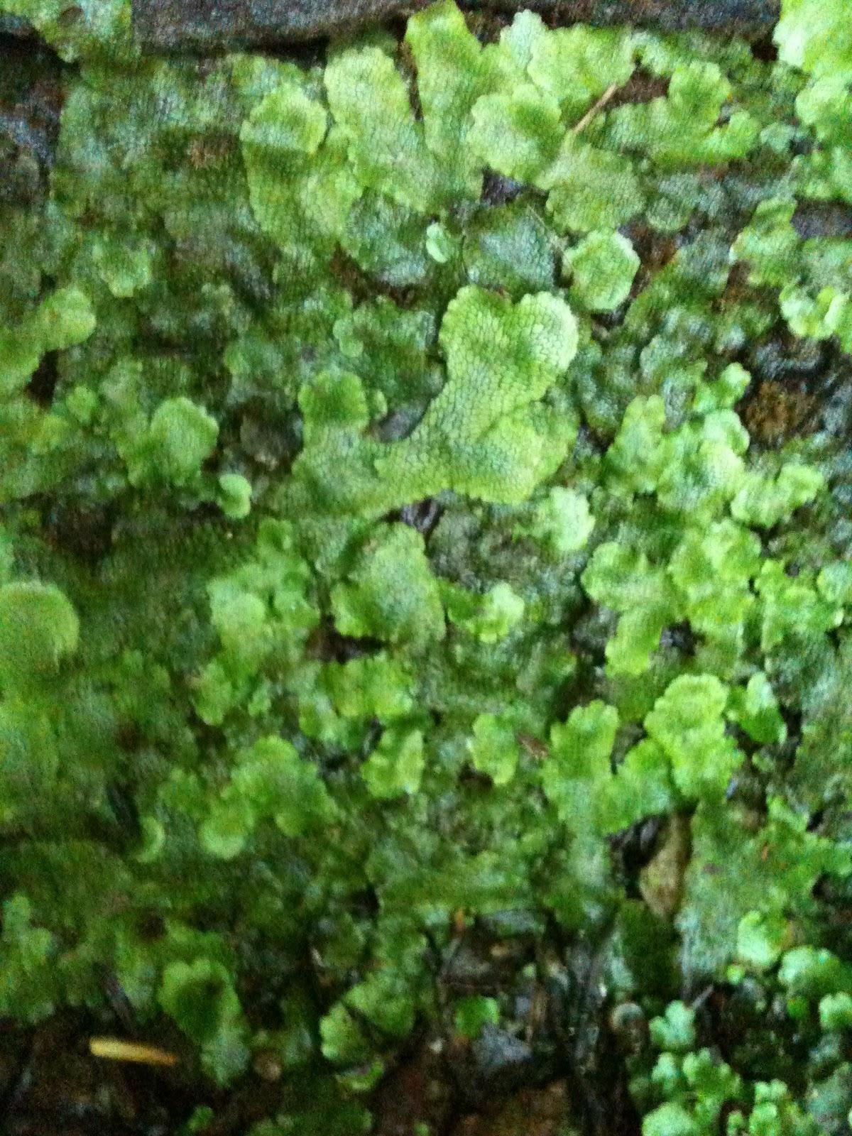 Kelcie S Non Vascular Plant Blog Specimen 14 Marchantia