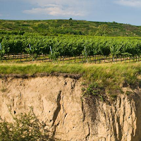A vineyard on loess