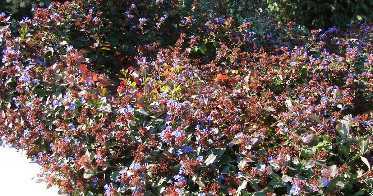 New Utah Gardener Blue Plumbago Ceratostigma