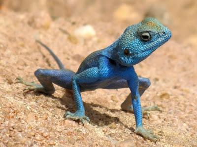 Iguane bleu sur le sable aux îles Caimans