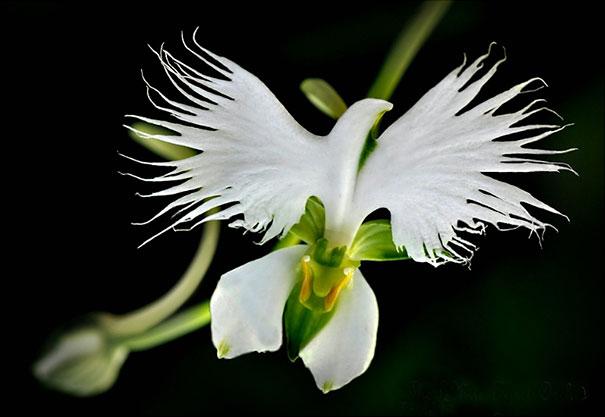White Egret Orchid (Habenaria Radiata)-2