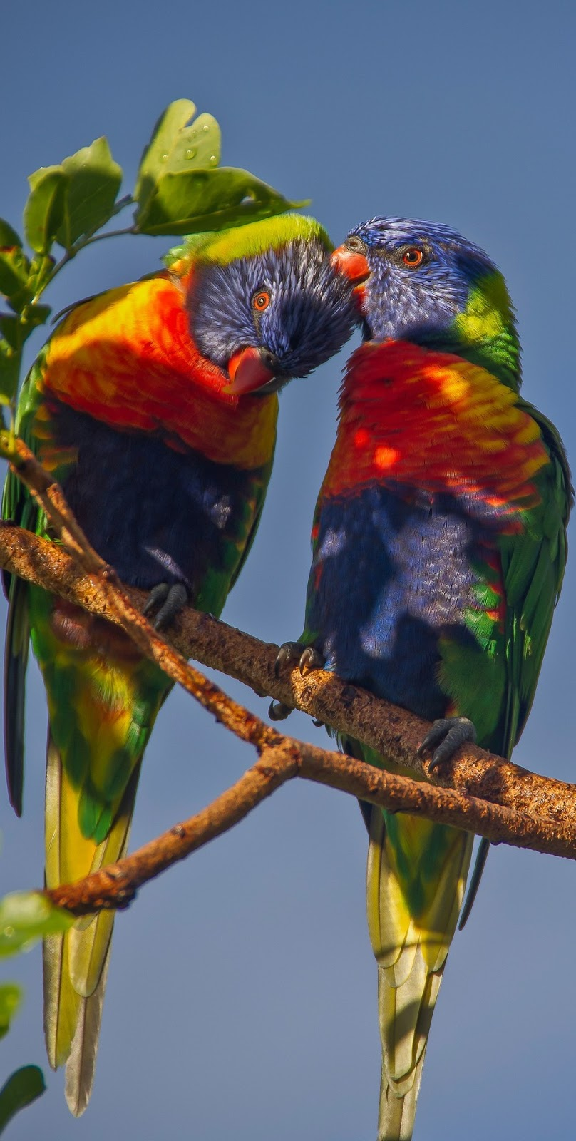Lovely picture of a rainbow lorikeet couple.