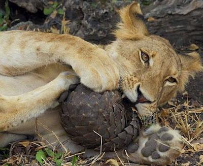 Apesar de suas peculiaridades, esse animal é pouco conhecido das populações em geral. Pois, além de ser o mamífero mais traficado do mundo, eles raramente sobrevivem em cativeiro. Apenas seis zoológicos no mundo têm um exemplar dessa espécie.