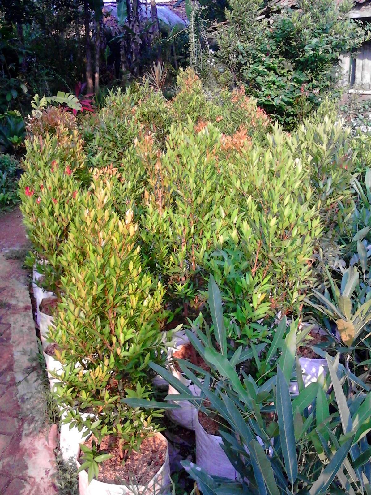 Jual Pohon Pucuk Merah Murah | Tanaman Pucuk Mreah | Jual Tanaman Hias Online