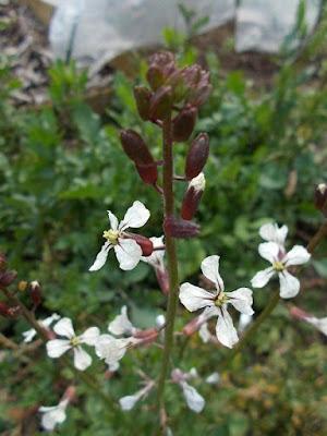 orto-di-marzo-fiori-di-rucola