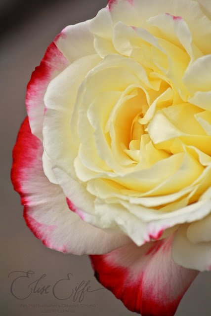 Vintage Multi Coloured Rose - Yellow, White & Deep Hot Pink Tipped Petals Close Up Photography Beautiful