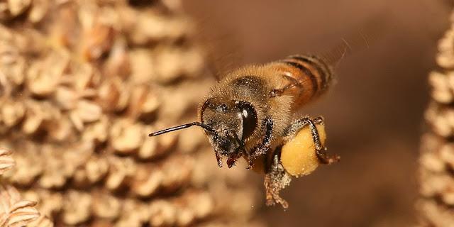 Foto lebah terbang